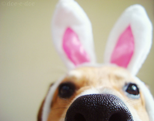 Bunny-ears-cute-dog-Favim_com-224182_large